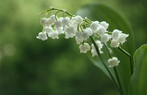 Grace McDunnough  - Lily of the Valley